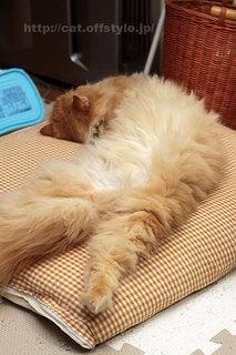 ペルシャ猫 レッドタビー